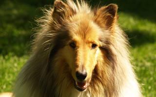Собака подцепила клеща симптомы. Собака после укуса клеща. Локальные изменения и общая реакция организма. Что такое пироплазмоз